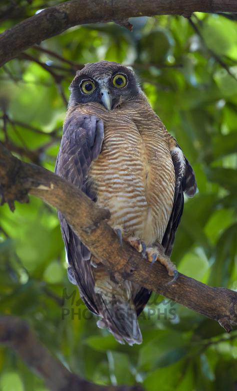 Rufous owl - photo#11