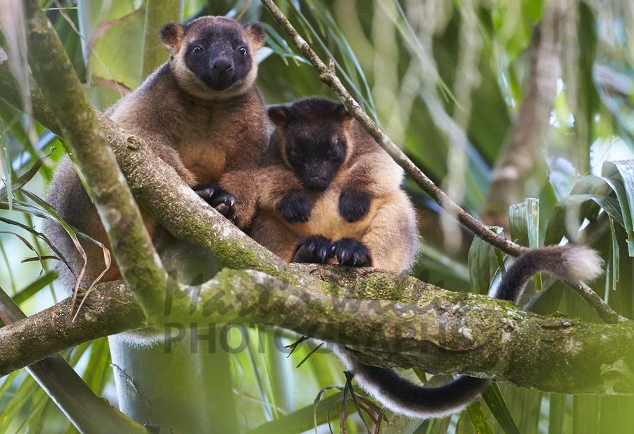 Buy Lumholtz's Tree Kangaroo with joey Image Online ...